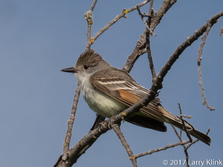 Image of an Ash-throated Flycatcher, American River Parkway, FOlsom, CA, JUN 2017