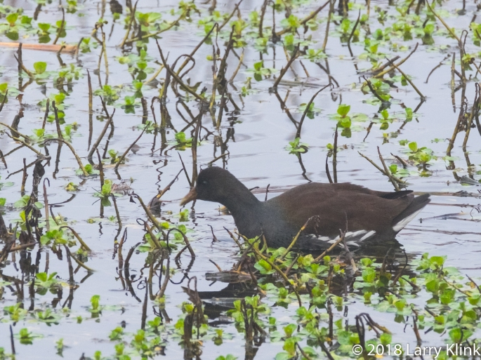 Common Moorhen (Waterhen, Swamp Chicken, Rail, closely related f