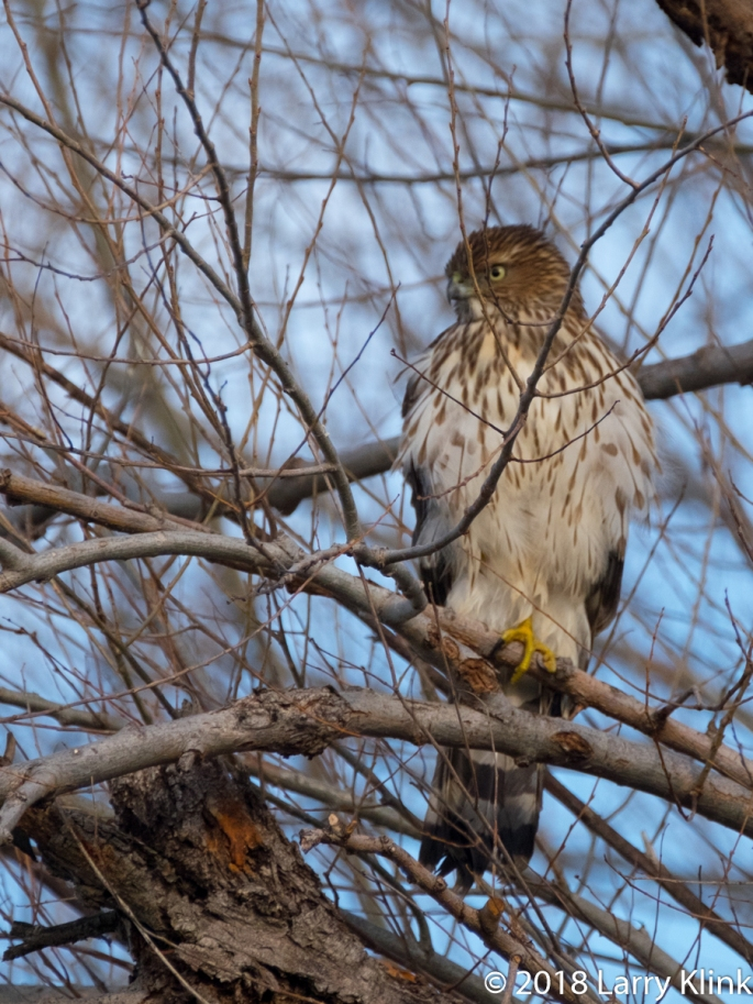 Female Northern Harrier (aka Marsh Hawk)