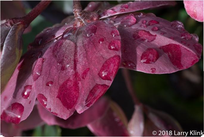 Lenten Rose - P2