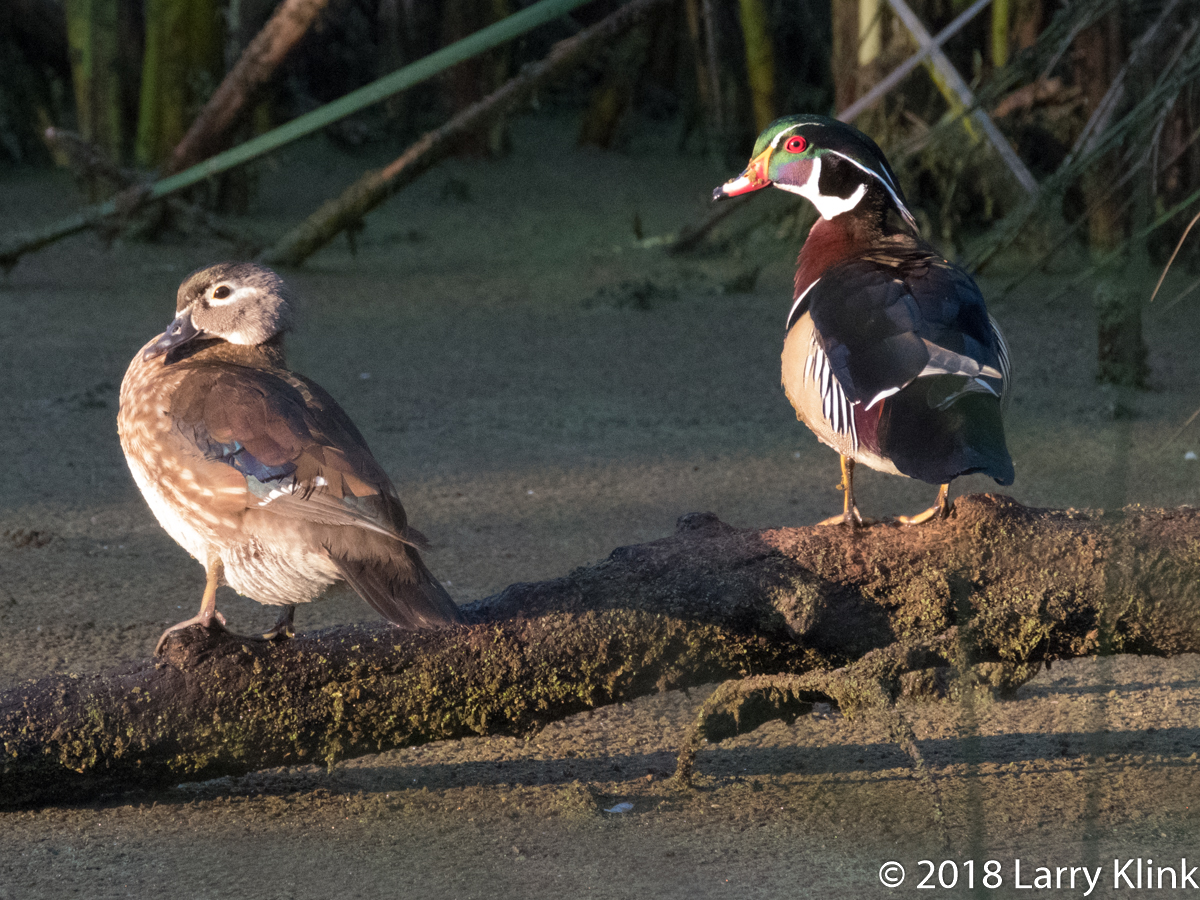 Image of a pair of wood ducks.