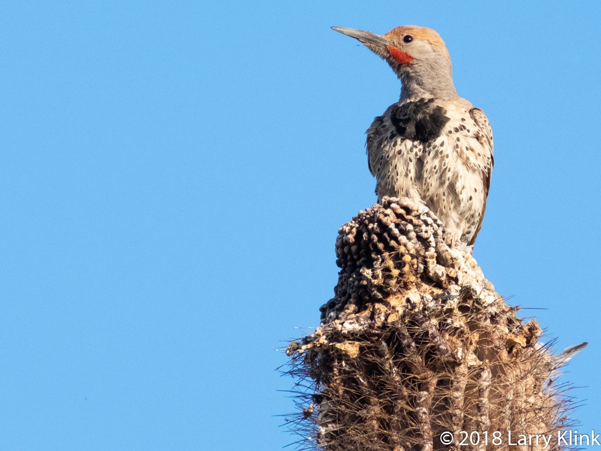 Image of a Gilded Flicker perched atop a saguaro cactus