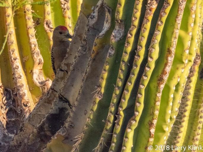 Image of a Gila Woodpecker hidden among the arms of a saguaro cactus