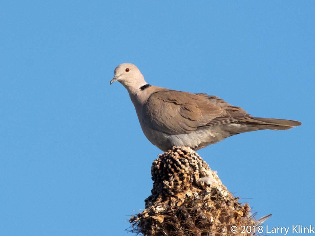 Image of a European Collared Dove perched atop a saguaro cactus