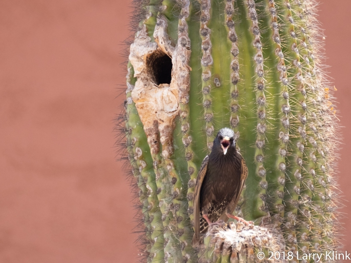 Image of a European Starling standing by its nesting hole in a saguaro cactus