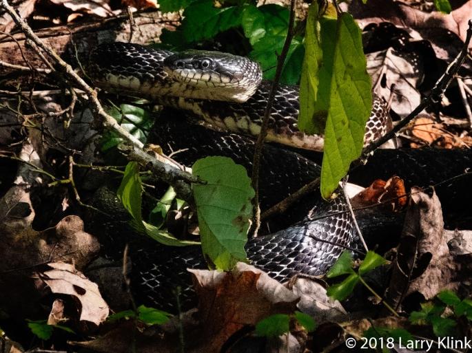 Northern Black Racer Snake