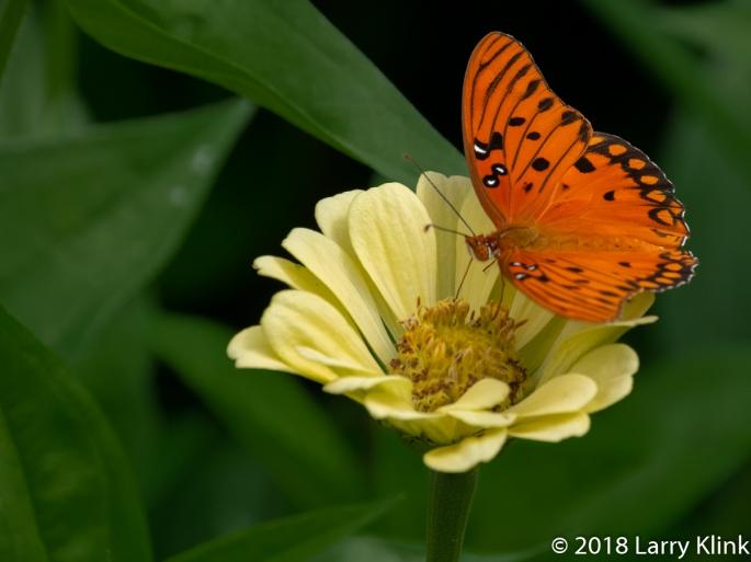 Gulf Fratillary Butterfly