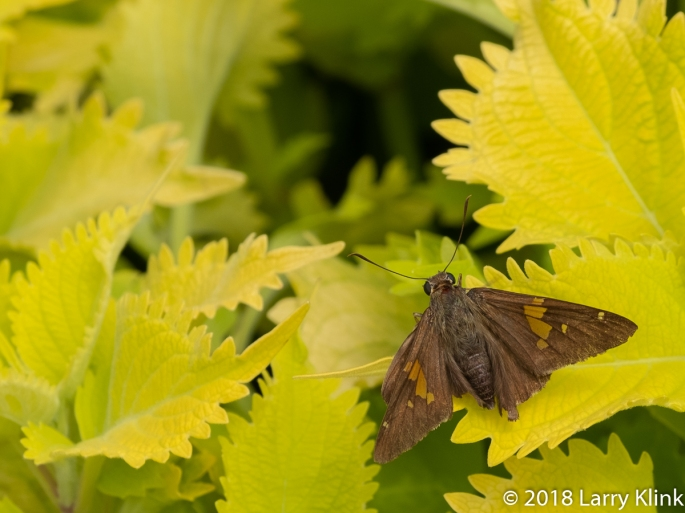 Silver Spotted Skipper Moth
