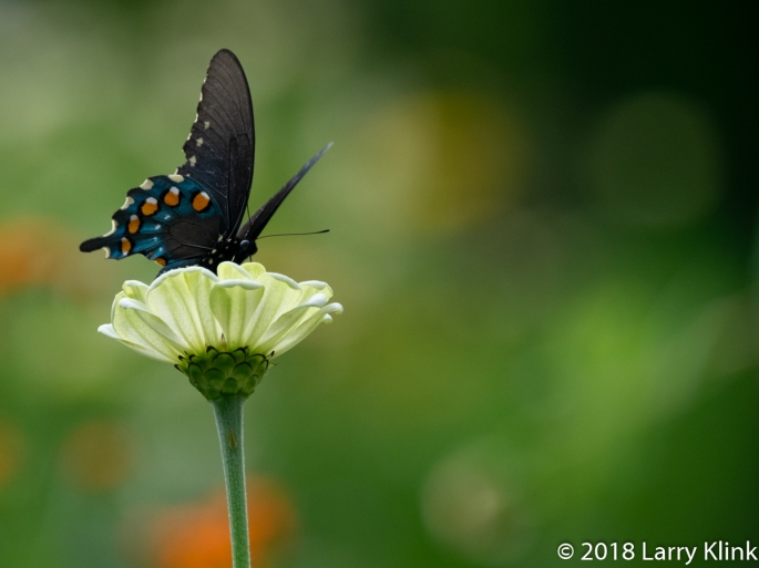 Female Eastern Tiger Swallowtail Butterfly