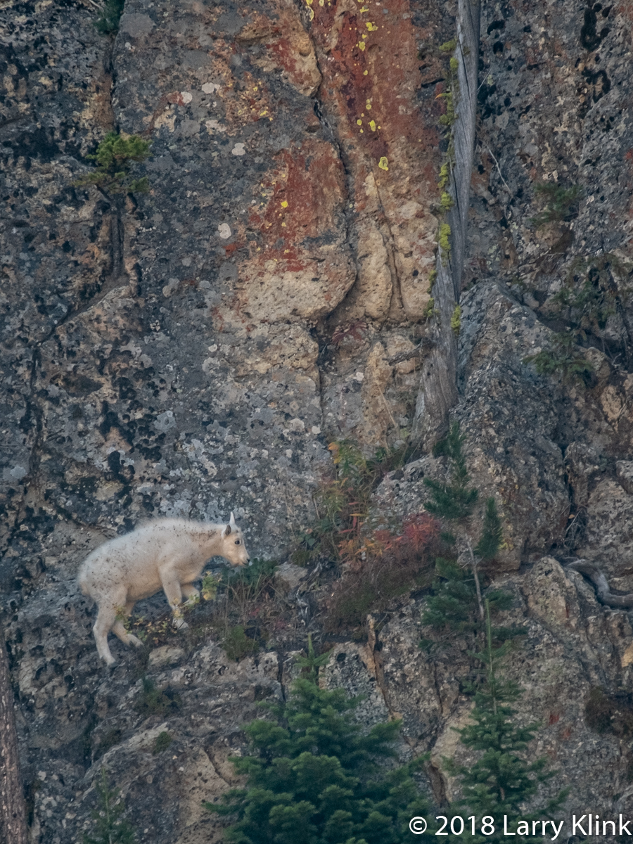Juvenile Mountain Goat