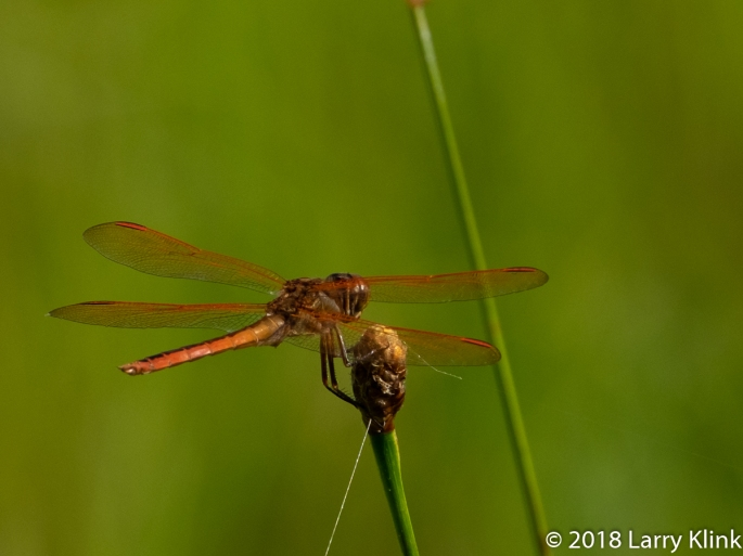 Eastern Amberwing Dragonfly