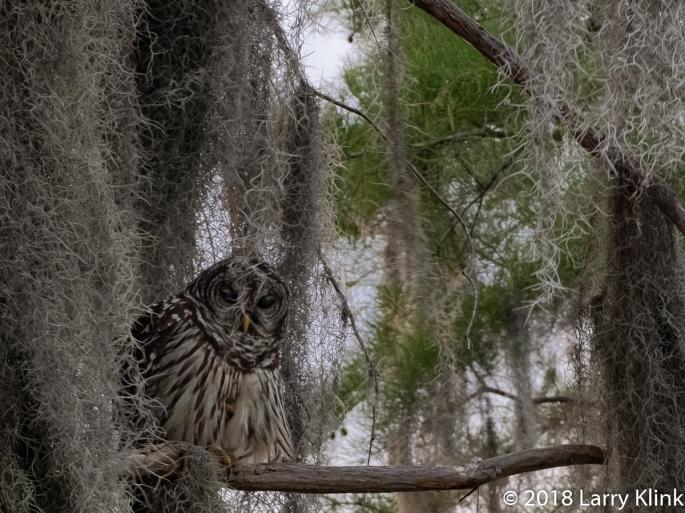 Eastern Barred Owl