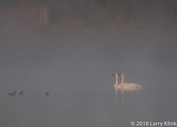 Trumpeter Swan's at Sunrise