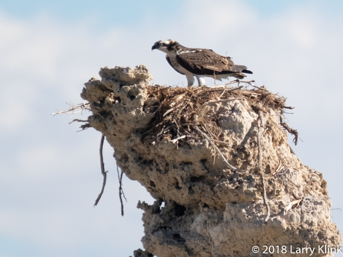 Osprey on Tufa