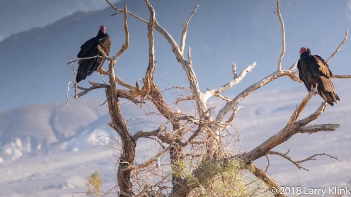 Turkey Vultures in the Desert