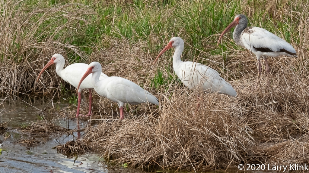 Photographic images of the White Ibis (Eudocimus albus)