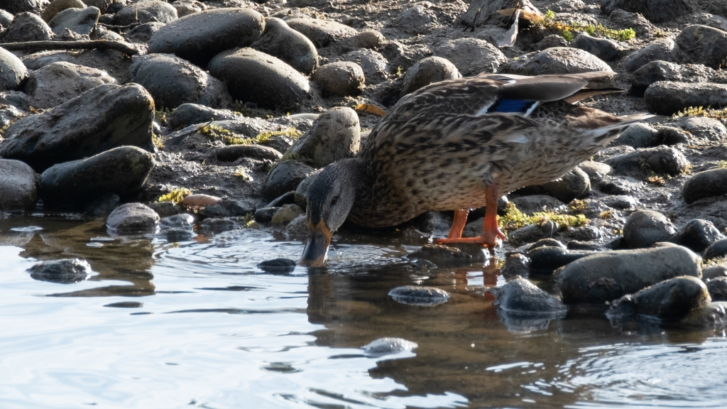 Four images of various specise of ducks.