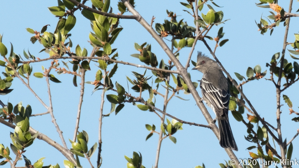 Images of the Phainopepla, a beautiful bird with a strange name.