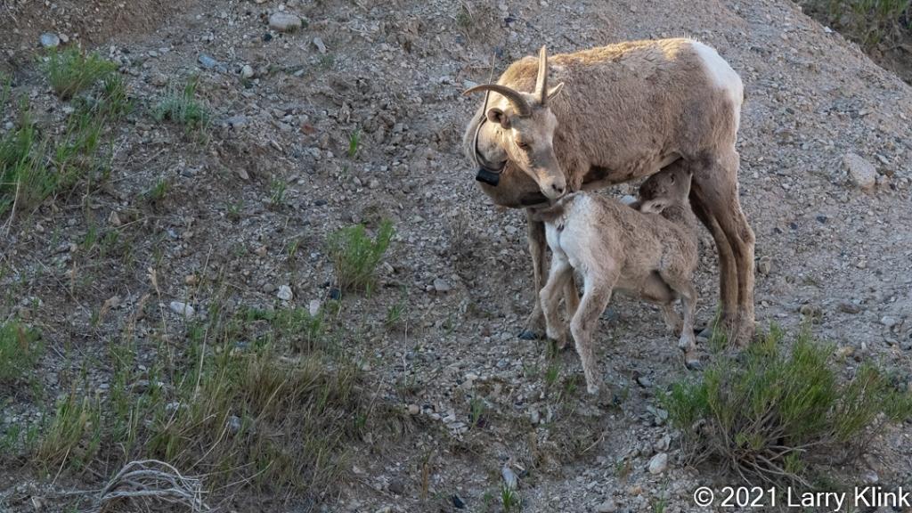 Juvenile Bighorn Sheep nursing from mother.