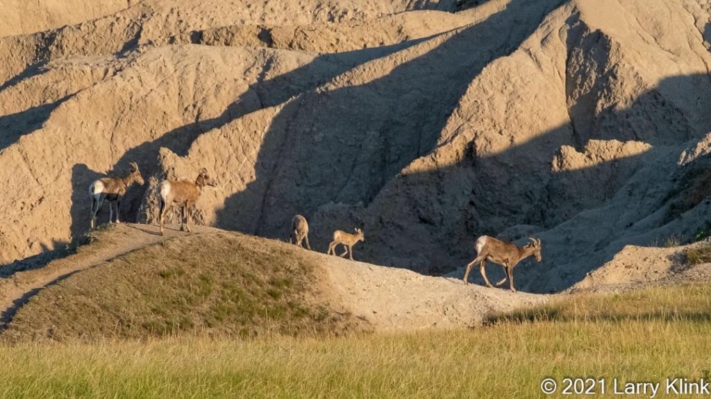 Three female and 2 juvenile bighorn sheep traversing a rugged trail.