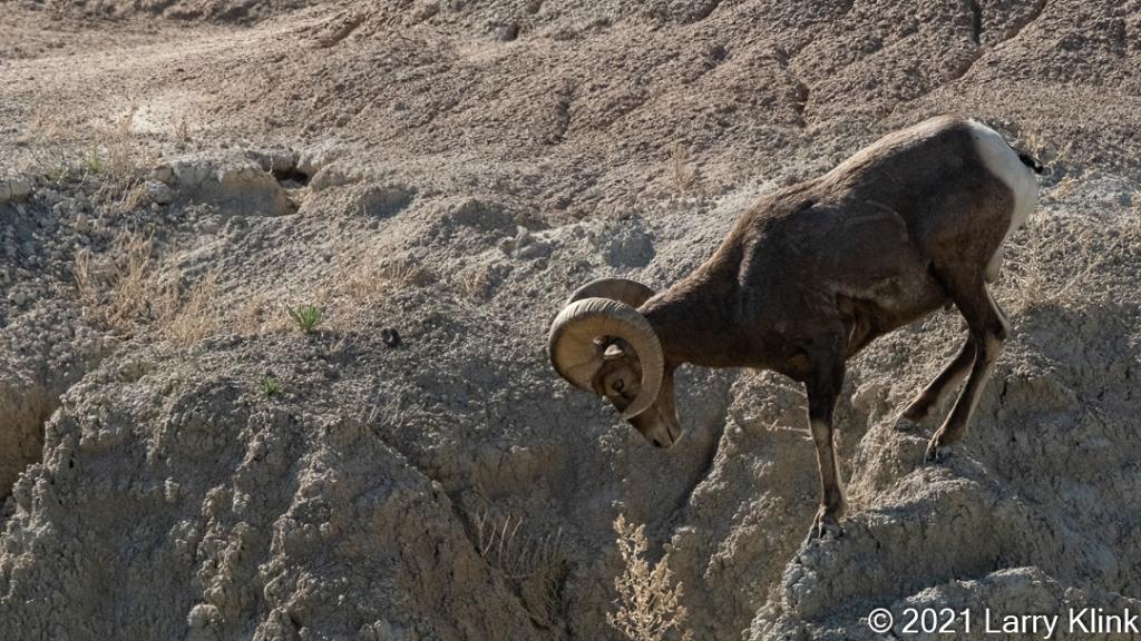 Ram (Male) Bighorn Sheep descending a cliff side.