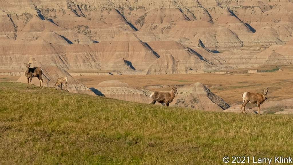 Three female and one juvenile Bighorn Sheep grazing against a backdrop eroded hills and valley.