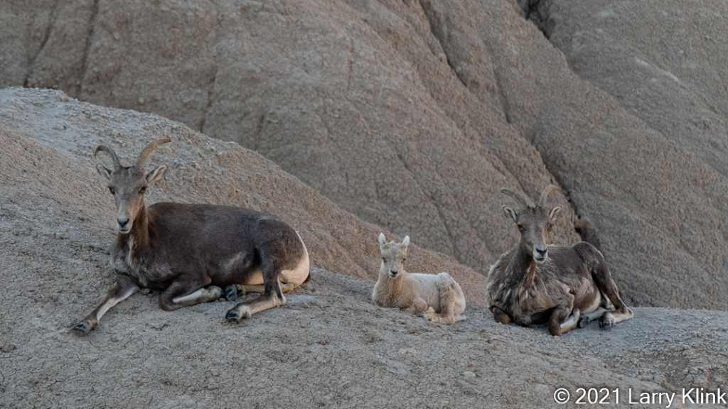 Two female and one juvenile Bighorn Sheep resting on rocky hillside.