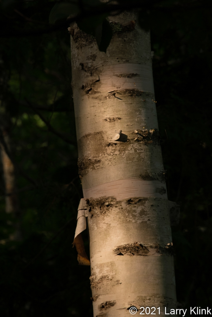 Early morning sun focusing on a birch tree that is shedding and re-growing bark.