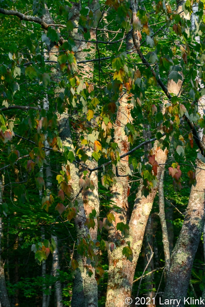 Sun highlighting birch trees with their white bark contrasted by green and red leaves.