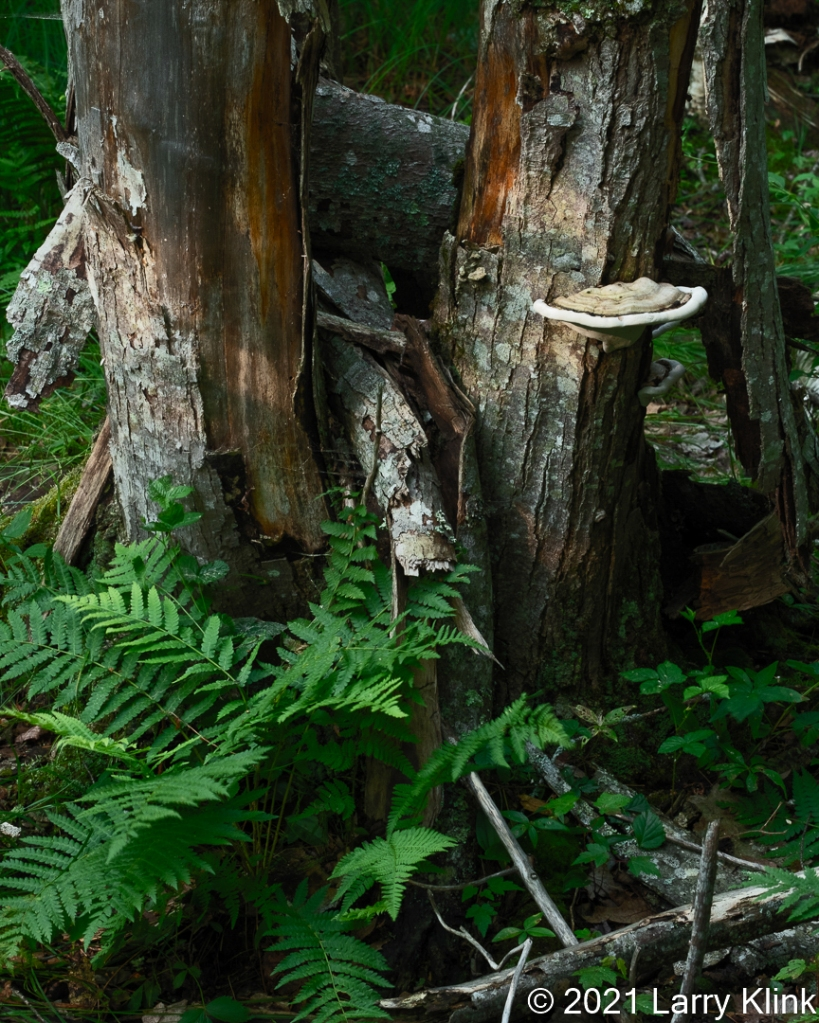 Birch tree trunks, one with a large fungus attached, as well as some ferns.