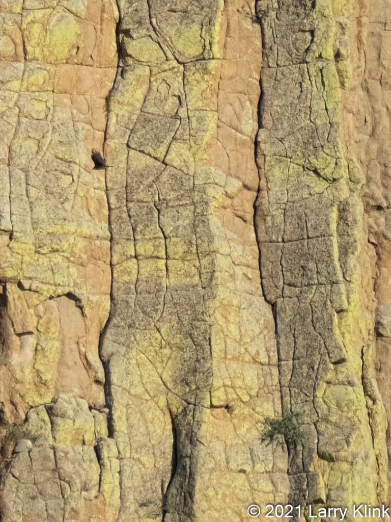 A close up of the rock face of Devils Tower. The Tower shown predominantly yellow. A small plant was growing to the bottom left of the image while a raven crossed the in front of the Tower in the upper right of the image.