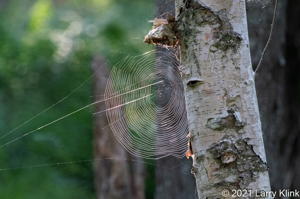 A large, orb style, spider web, highlighted by the sun and attached to a birch tree trunk.