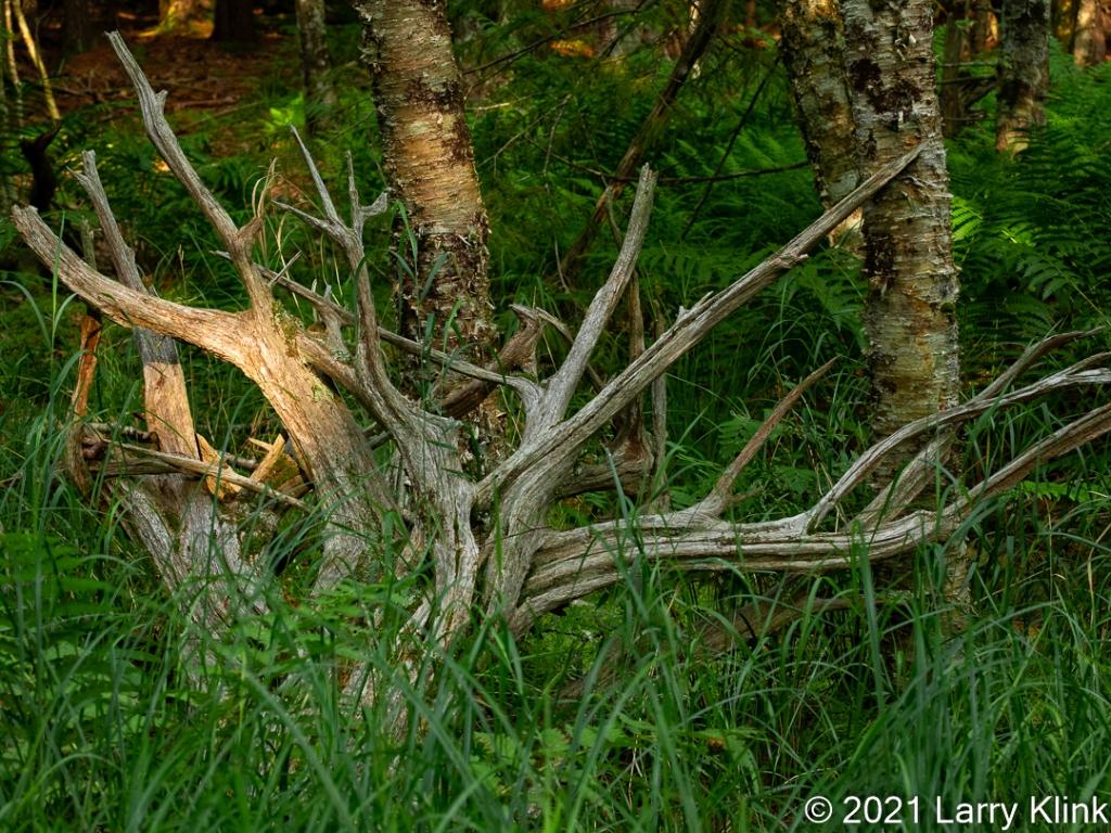 Sun highlighting a very sculptural tree root lying vertically.