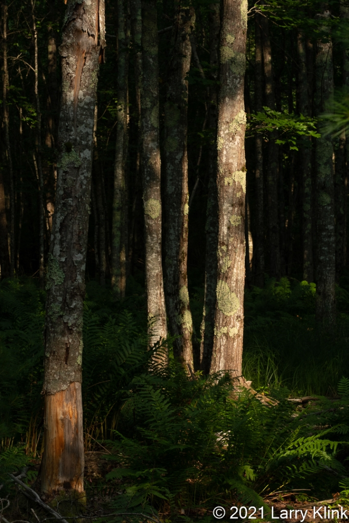 A stand of birch tree trunks highlighted by sunlight.