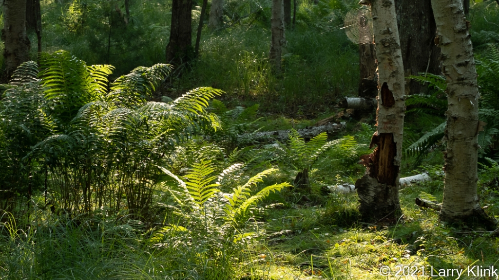Scene from a forest with the sun highlighting a path through the forest as well as some ferns.